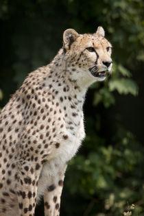 Wild Cheetah von Nicklas Byriel