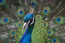 Peacock by Nicklas Byriel