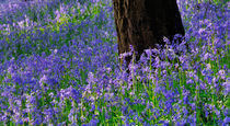 Bluebell Wood by Craig Joiner