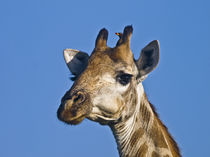 Giraffe-close-up-of-head-with-blue-sky-and-oxpecke