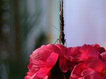 butterfly 2 von rickyss