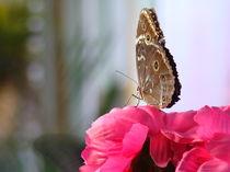 butterfly von rickyss