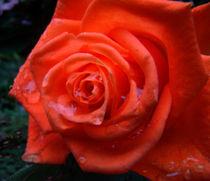 rose by rickyss