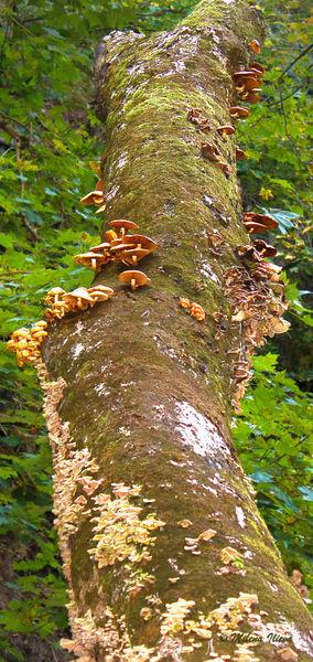 Mushrooms-kingdom