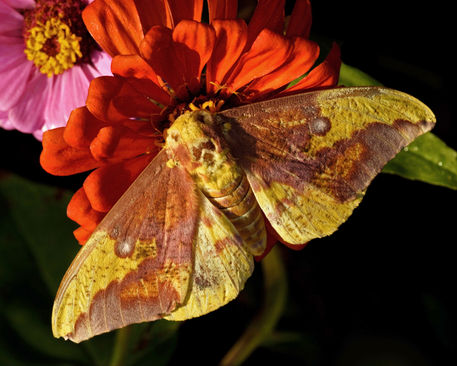 Imperial-moth