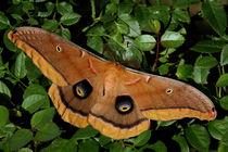 Polyphemus Moth von Howard Cheek