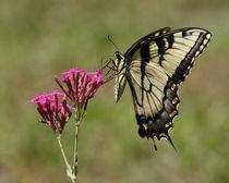 Tiger Swallowtail (Papilio glaucas) by Howard Cheek