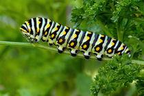 Black Swallowtail Caterpillar  by Howard Cheek