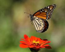 Colors Rising (Monarch Flying) by Howard Cheek