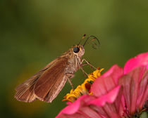 Curly the Skipper (Ocola Skipper) by Howard Cheek