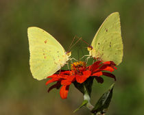 Dueling Sulphurs (Cloudless Sulphurs) by Howard Cheek