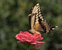 Giant Swallowtail (Papilio cresphontes) von Howard Cheek