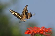 Graceful Flyer (Giant Swallowtail) by Howard Cheek