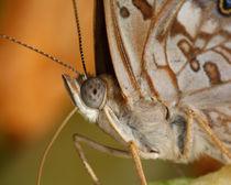 Hackberry Emperor Butterfly (Asterocampa celtis) by Howard Cheek