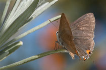 Lavendar-hairstreak2
