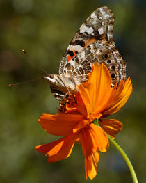 Painted Lady (Vanessa cardui) by Howard Cheek