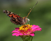 Painted Lady Butterfly von Howard Cheek