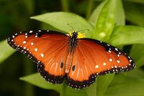 Queen Butterfly (Danaus gilippus)  by Howard Cheek