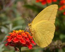 Large Sulphur Butterfly by Howard Cheek