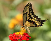 Summer Swallowtail (Papilio cresphontes) by Howard Cheek