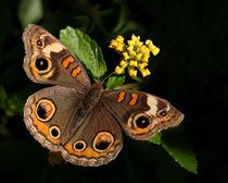 Buckeye Butterfly (Junonia coenia) by Howard Cheek