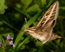 White-lined Sphinx Hummingbird Moth by Howard Cheek
