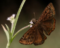 Zarucco Duskywing (Erynnis zarucco) by Howard Cheek