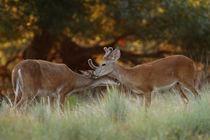 Buddies (Whitetailed Bucks) by Howard Cheek