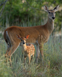 First Light (Whitetailed Deer) by Howard Cheek
