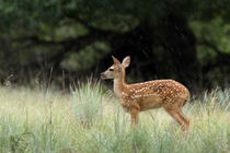 Lonely Rain (Whitetail fawn) by Howard Cheek