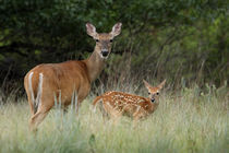 Mother's Protection (Whitetail Deer) by Howard Cheek