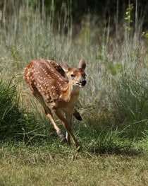 Frisky Fawn (Whitetail Deer Fawn) by Howard Cheek