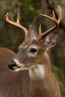 Eight point White-tailed Buck  von Howard Cheek