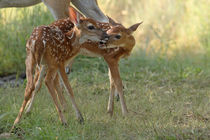 Simple Love (Whitetail Fawns) by Howard Cheek