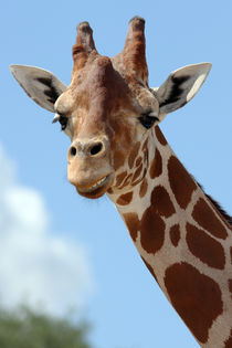 Smiling Giraffe (Giraffa camelopardalis)  by Howard Cheek