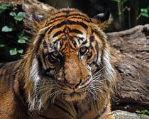 Sumatran Tiger (Panthera tigris sumatrae) by Howard Cheek
