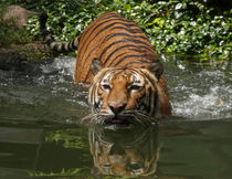 Swimming Tiger von Howard Cheek