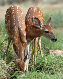 Thirsty Twins (Whitetail Fawns) by Howard Cheek