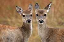 Two's Cuter (Whitetail fawns) by Howard Cheek
