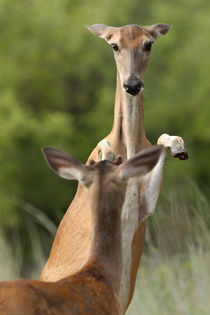 Who's the Boss? (Whitetail Deer) by Howard Cheek