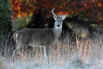 Winter's Morning (Whitetailed Deer) by Howard Cheek