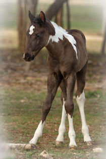 Spring Babe (first year foal) von Howard Cheek