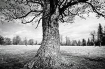 Sycamore Maple Tree von David Pinzer
