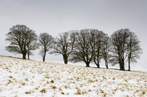 Beech Trees in Winter by Craig Joiner