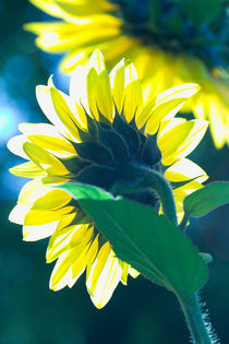 Sunflower by Werner Schulteis