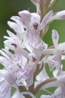Geflecktes Knabenkraut - Dactylorhiza maculata von Werner Schulteis