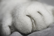 Tigerkralle - Tiger claw by Werner Schulteis