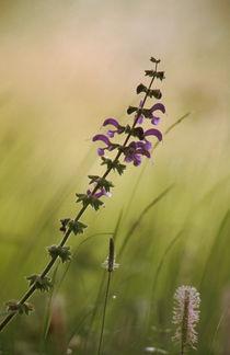 Wiesensalbei - Meadow Sage by Werner Schulteis