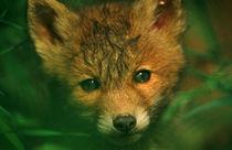 Fuchswelpe - fox whelp - pup by Werner Schulteis