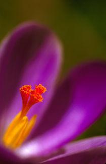 Krokus lila - Crocus von Werner Schulteis